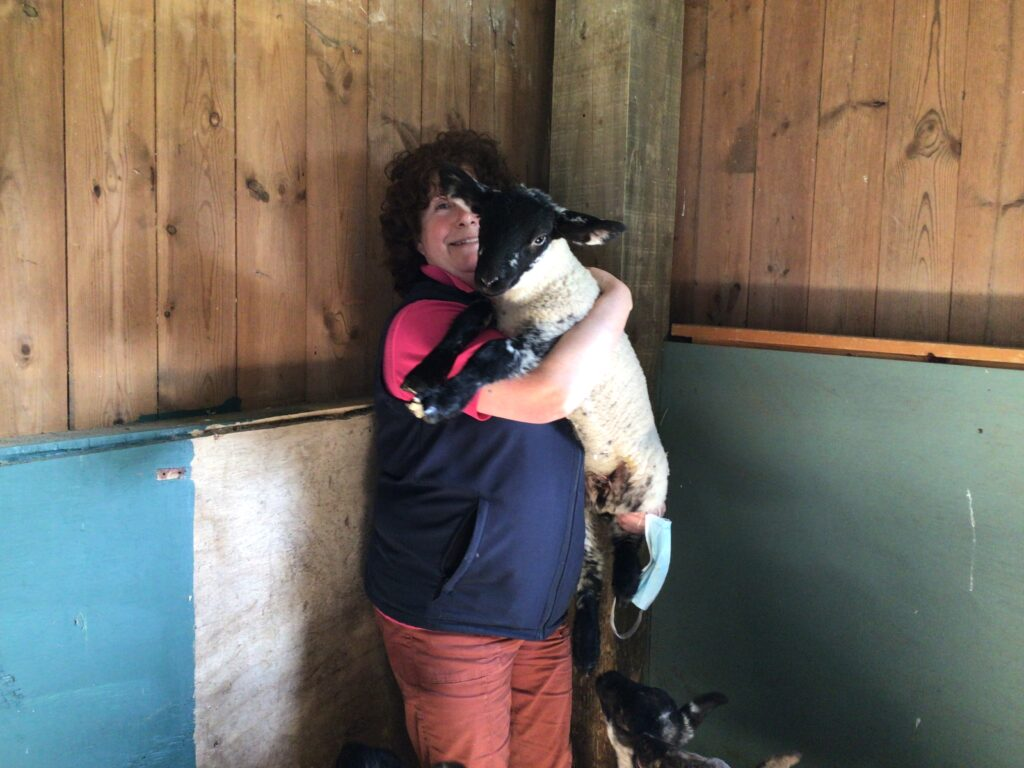 Animal care tutor Helen lifts up one of the lambs and shows him off. The lamb has a black face and legs and a cream-grey body.